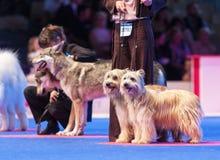 Pastores pirenáicos en la exposición canina Foto de archivo