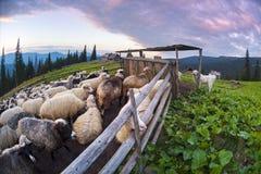 Pastores y ovejas Cárpatos foto de archivo libre de regalías
