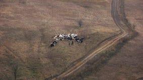 Pastori che camminano con il bestiame sul pascolo, vista aerea stock footage