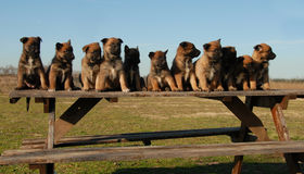 Pastori del belga dei cuccioli Fotografia Stock
