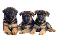 Pastori tedeschi dei cuccioli Immagini Stock Libere da Diritti