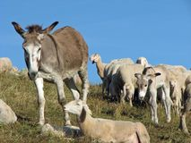 Pastors donkey in great flock with thousands of sheep Royalty Free Stock Images