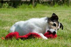 Pastorsteckfassung Russell-Terrier lizenzfreie stockfotografie