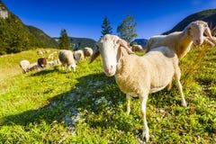 Pastos alpinos en las montañas eslovenas Parque nacional de Triglav Imagen de archivo libre de regalías