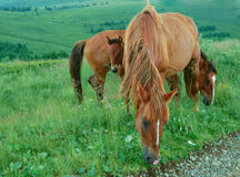 Pastos da família do cavalo em um prado Imagens de Stock