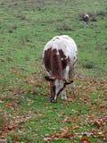 Pastos de la vaca Imágenes de archivo libres de regalías