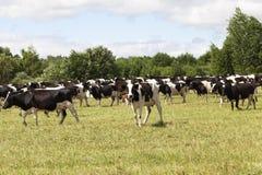 pastos de uma vaca imagem de stock