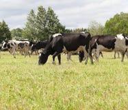 pastos de uma vaca imagem de stock royalty free