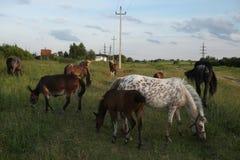 Pastos do rebanho do cavalo em Mozhaysk, Rússia fotografia de stock royalty free