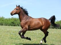 跑在pasturage的惊人的棕色体育小马 库存照片