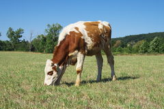 Pasturage cow. stock image