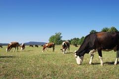 Pasturage Kuh. Lizenzfreies Stockfoto