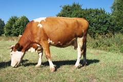 Pasturage Kuh. Lizenzfreie Stockfotos