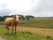 Pasture � Portrait of a cow Royalty Free Stock Photos