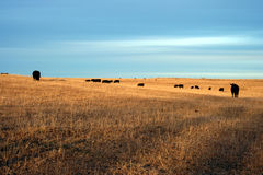Pasture. Cattle grazing in the pasture Stock Image