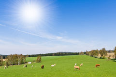 Pasture. Cows on pasture in beautiful landscape Stock Photo