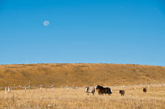 Pasture. The horses in the broad pasture Stock Photos