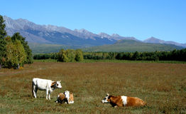 Pasture. Cows graze in a meadow at the foot of the mountains Stock Images