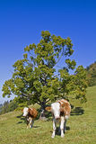 On pasture Stock Photography