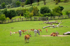 Pasture. Different Hoofed Animals At The Pasture Field royalty free stock image