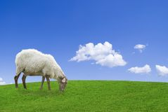 The pasture. White sheep in a green grass against a blue sky Royalty Free Stock Images
