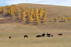 Pasture. In the fall of pasture and forests, grasslands in Inner Mongolia China Stock Photo