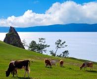 Pasture. Five cows. Lake Baikal Royalty Free Stock Photos