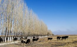 Pasture. Nanshan pasture in xinjjiang china Royalty Free Stock Image