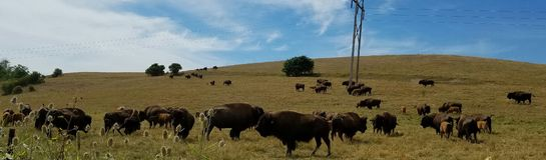 Pasture of Bison Stock Photos