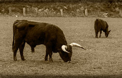 Pasture bull, ox cattle on grazing Royalty Free Stock Images