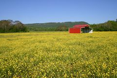 Pasture of Buttercups Stock Images