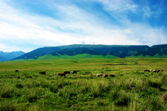 Pasture and cattle Stock Photo