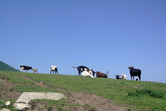Pasture cattle Royalty Free Stock Photo