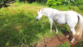 White horse is grazing on green meadow at beautiful sunny day, eating grass stock video footage