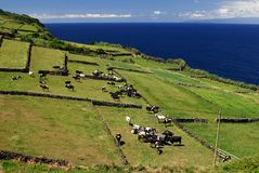 Pasture on cliff with cows Stock Photo