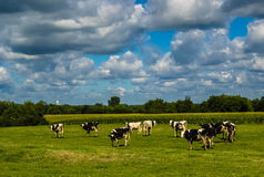Pasture. On a cloudy afternoon the cows graze without worrying about the cloudy sky Royalty Free Stock Image