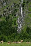 Pasture with cows on a alp with waterfall Royalty Free Stock Photo