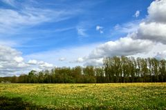Pasture with dandelions under blue sky with white clouds. Meadow with flowering dandelions under a blue sky with white clouds  on a sunny day in april,and trees Stock Photography