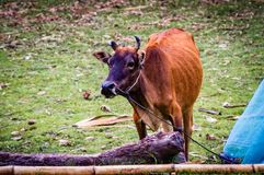 Pasture farming beef grazing cattle farm asian cows. Very much a common site in the area and typical of the local culture Royalty Free Stock Images