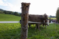 pasture fence with bavarian cows royalty free stock photography