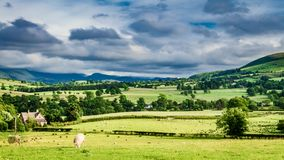 Pasture full of fast moving sheep in field, Scotland, United Kingdom, timelapse stock video