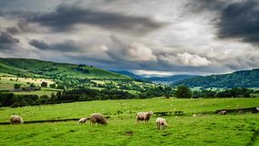 Pasture full of fast moving sheep in meadow, Scotland, United Kingdom stock footage