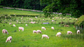 Pasture full of sheep, Lake District, UK. Pasture full of sheep, Lake District, England Royalty Free Stock Photo