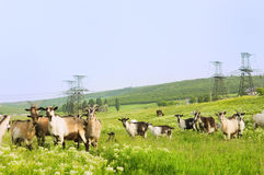 Pasture with funny goats. With electrical towers on background Royalty Free Stock Photos