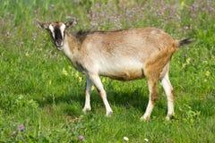 Pasture goat. Goat pasture on a green grass Stock Photos