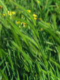 Pasture grass, closeup, with yellow flowers. Deep green grass in a pasture or meadow, with blurry yellow wildflowers in the background. Tall grass in summer or stock image