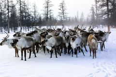 Pasture for grazing a herd of reindeer stock photo