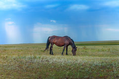 Pasture with grazing horse. Bay horse grazing in the meadow on the background of blue sky Stock Photo