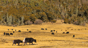 Pasture herds of yak Royalty Free Stock Images