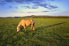 Pasture Horses Royalty Free Stock Photography